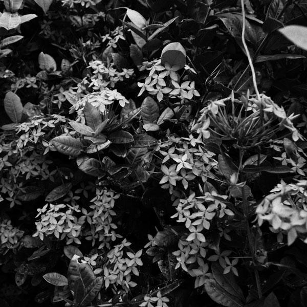 photographs : primula 43