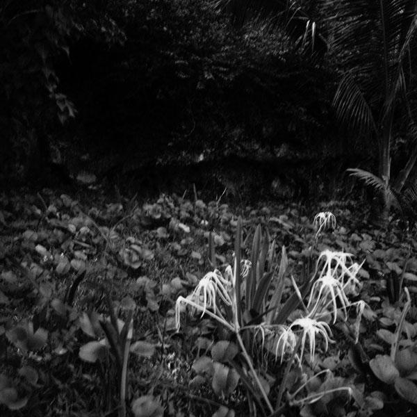 photographs : primula 7